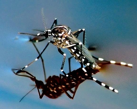 d el-mosquito-tigre