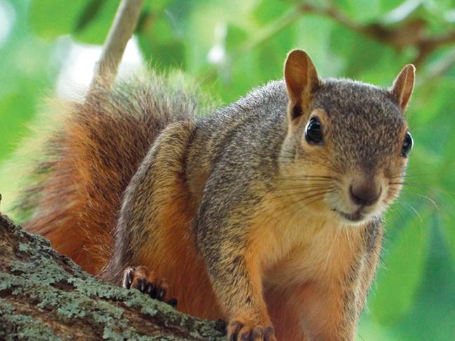 Washington Squirrel