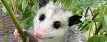 The Tale Of Salt: The Orphaned Opossum